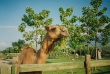 A photo of a camel in Bursa Province.